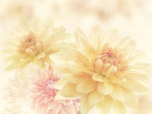 45945112 - dahlia flowers close up for background